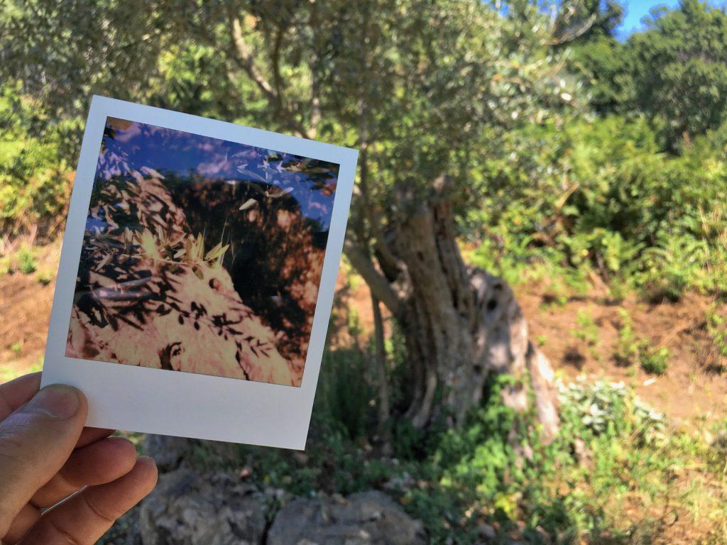 Oliven am Lago di Bolsena
